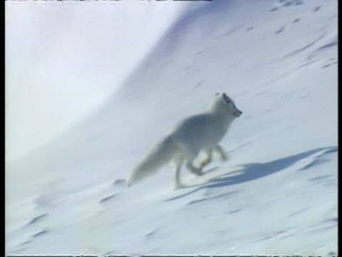 MS Panning right, Arctic fox running through snow, away from camera, stands and moves on again, Arctic circle