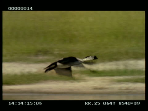 ms panning right as knob-billed duck flies across water surface - 優美点の映像素材/bロール