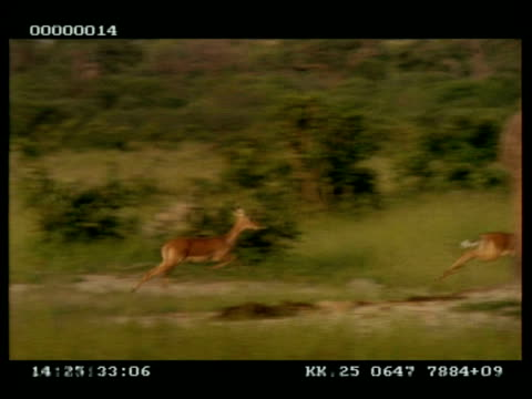 mwa panning right of 2 impala (aepyceros melampus) running through grassland at speed - 優美点の映像素材/bロール