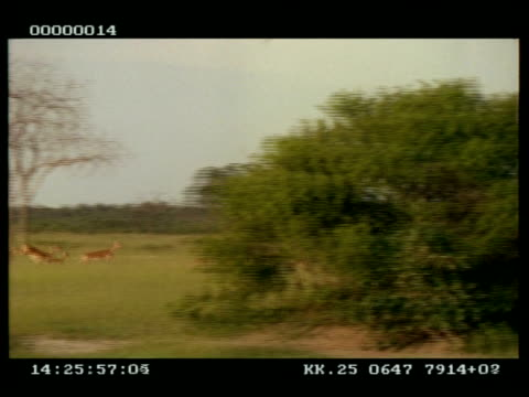 wa panning right of impala (aepyceros melampus) herd running through grassland, then running back again - 優美点の映像素材/bロール