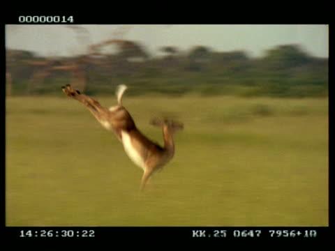 vídeos de stock, filmes e b-roll de ms panning right of single impala (aepyceros melampus) leaping/running through grassland - antílope mamífero ungulado
