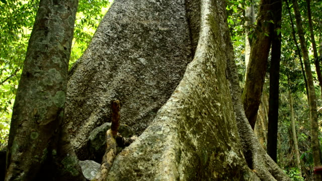 panning : root of old tree to top of forest in Palau waterfall