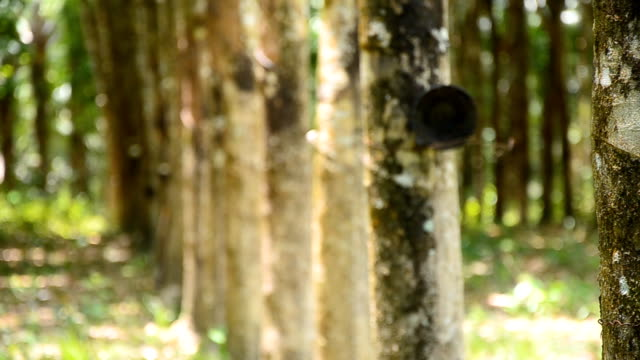 panning :rubber tree garden in thailand - rubber tree stock videos & royalty-free footage