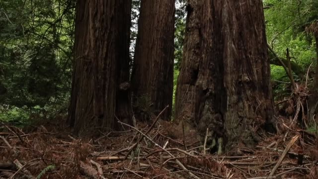 panning shot a large sequoia tree finally some good news about the effects of climate change it may have triggered a growth spurt in two of... - giant sequoia stock videos and b-roll footage