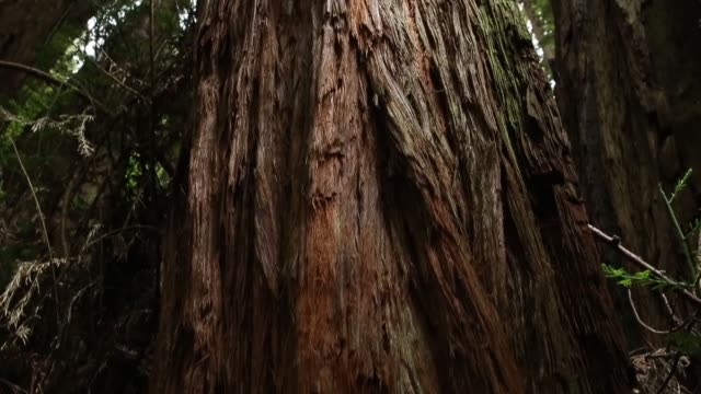 panning shot a large sequoia tree finally some good news about the effects of climate change it may have triggered a growth spurt in two of... - セコイア点の映像素材/bロール