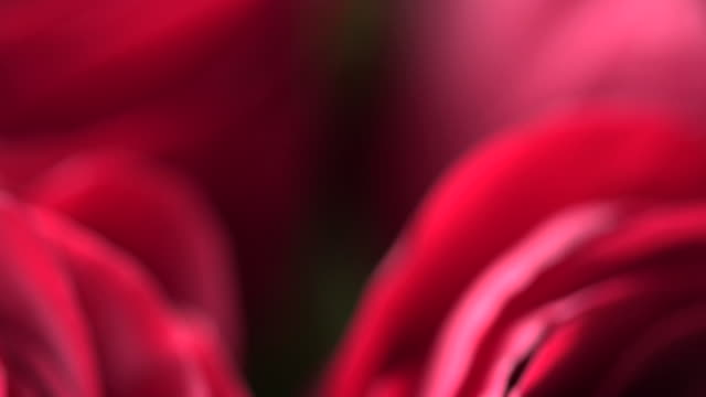 Panning shot across a bunch of beautiful red roses.