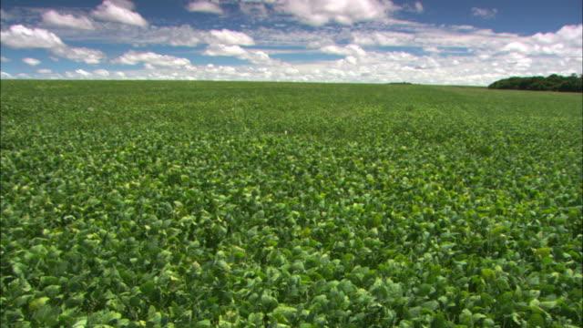 vídeos de stock, filmes e b-roll de panning shot across a field of soy plants. - soja