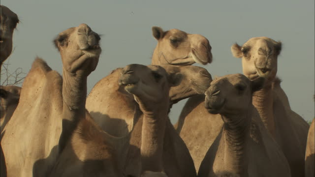 Panning shot across a herd of camels.