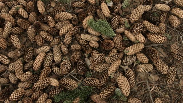 Panning shot across pine cones.