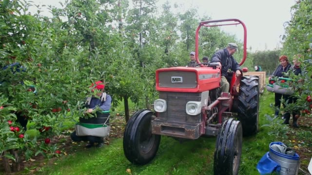 panning shot, apple pickers gather gala apples in an orchard at stocks farm in suckley, near worcester, on october 8, 2013 in worcestershire,... - harvesting stock videos & royalty-free footage