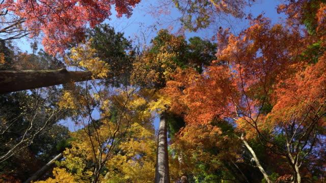 vídeos de stock, filmes e b-roll de garimpando o tiro: outono vermelho deixar fundo korankei forest park nagoya - ácer