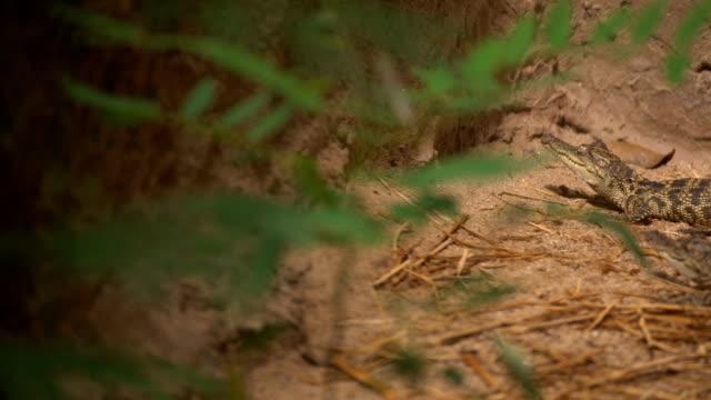 vídeos de stock e filmes b-roll de panning shot: crocodile - réptil