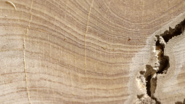 Panning shot down a cross section of a felled tree.
