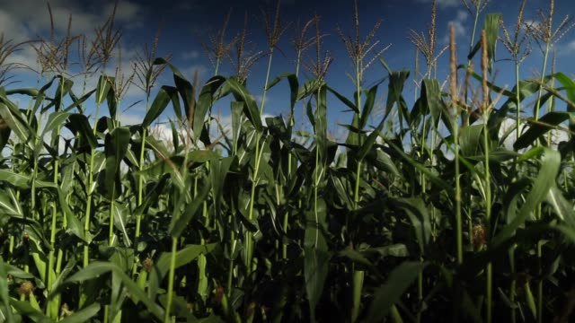 panning shot, maize grows in a staffordshire field next to a sign promoting british farming by the national farmers union on 3 september 2013 in... - national farmers union stock videos & royalty-free footage