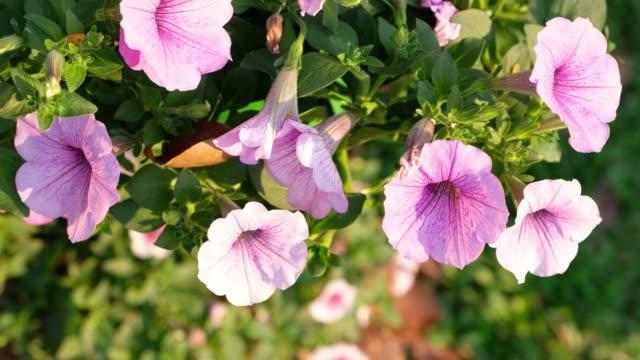 panning shot morning glory flower in garden - morning glory stock videos & royalty-free footage