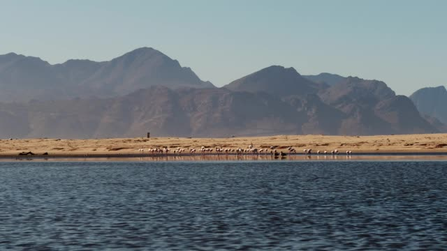 vídeos de stock e filmes b-roll de panning shot of a flock of flamingos feeding next to the water's edge - water's edge