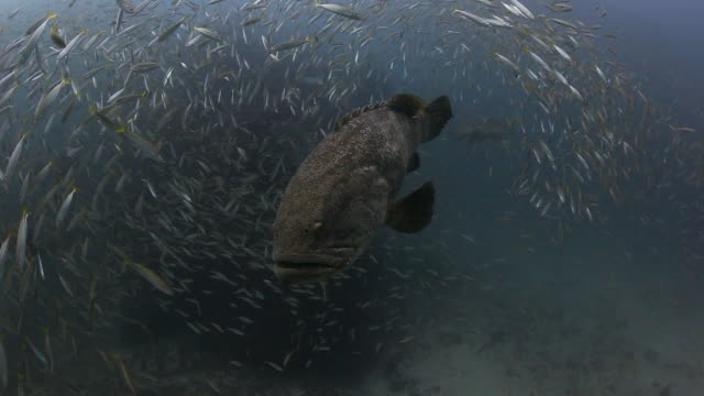 a panning shot of a goliath grouper surrounded by bait fish - grouper stock videos & royalty-free footage