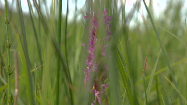 panning shot of a purple wild flower in a field - purple stock videos & royalty-free footage