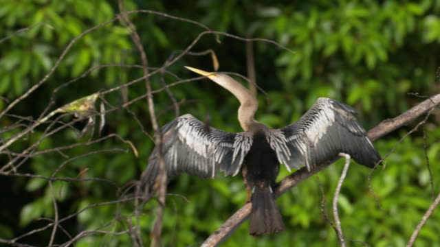 Panning shot of a tropical bird, Anhinga, drying wings and takeoff