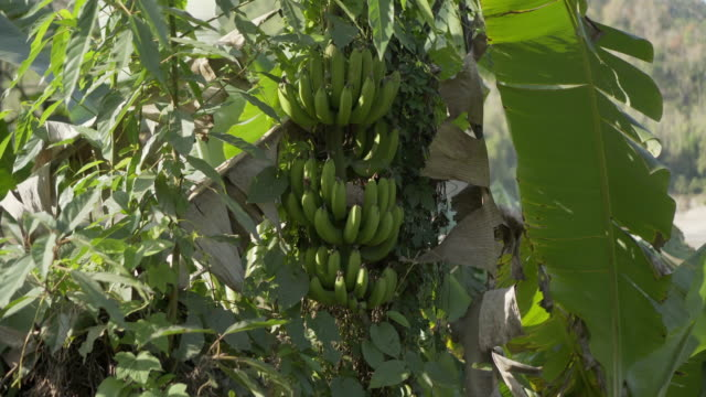 vidéos et rushes de panning shot of banana bunches on tree trunk amidst green leaves during sunny day - chiang rai, thailand - bananier