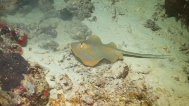 panning shot of blue spotted ribbontail ray swimming over ocean floor by coral in sea - wakatobi regency, indonesia - bluespotted stingray stock videos & royalty-free footage
