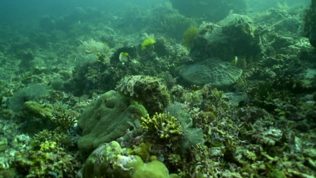 panning shot of cuttlefish feeding on coral amidst fish swimming in sea - komodo island, indonesia - cuttlefish stock videos & royalty-free footage