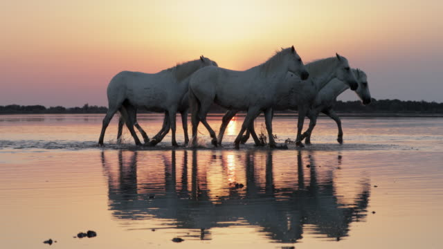 panning shot of dirty horses strolling on shore at beach against orange sky during sunset - camargue, france - imperfection stock videos & royalty-free footage