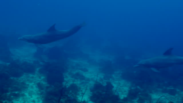panning shot of dolphins swimming over ocean floor in blue sea, cetacea moving underwater - montego bay, jamaica - cetacea stock videos & royalty-free footage
