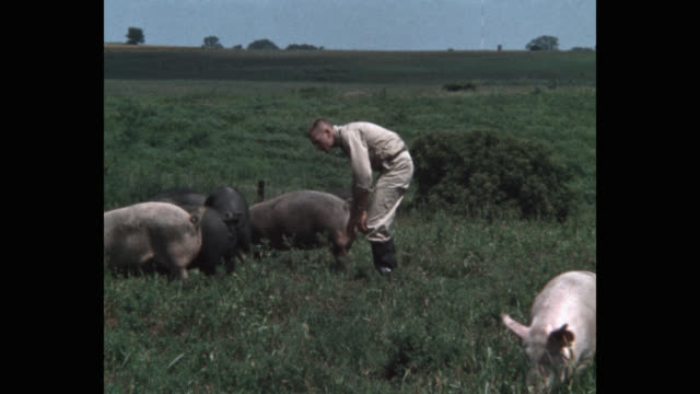 stockvideo's en b-roll-footage met panning shot of farmer walking along with pigs grazing in meadow - varken