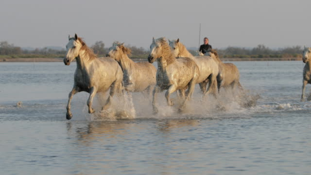 panning shot of female wrangler herding horses in sea against clear sky - camargue, france - animals in the wild stock videos & royalty-free footage