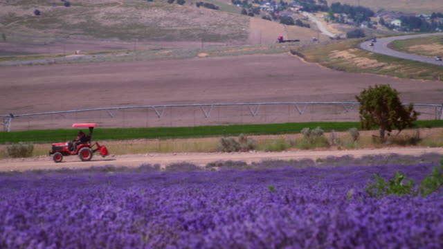 Panning shot of field of violet flowers and tractor.