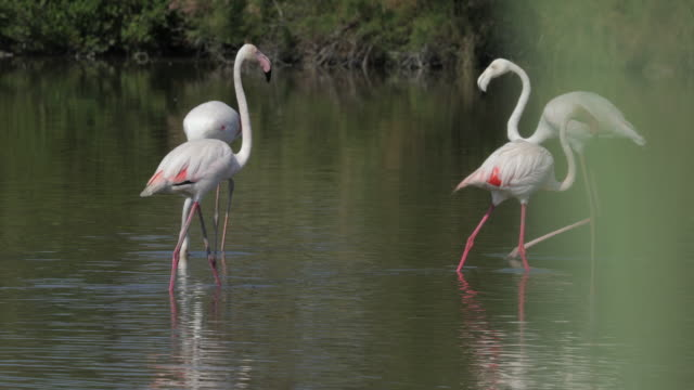stockvideo's en b-roll-footage met panning shot of flamingos strolling in river against plants on sunny day - camargue, france - foerageren