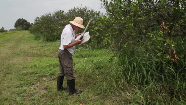 panning shot of guy davies inspecting orange trees. davis is part of a team trying to track the movement of the insect. there is no known cure for... - オレンジ果樹園点の映像素材/bロール