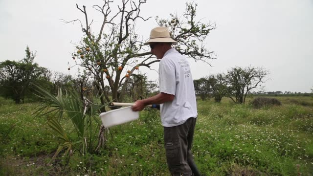 panning shot of guy davies tapping an orange tree in search for psyllids. davis is part of a team trying to track the movement of the insect. there... - オレンジ果樹園点の映像素材/bロール