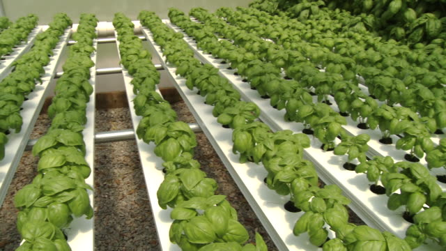 Panning shot of hydroponic basil farm in greenhouse