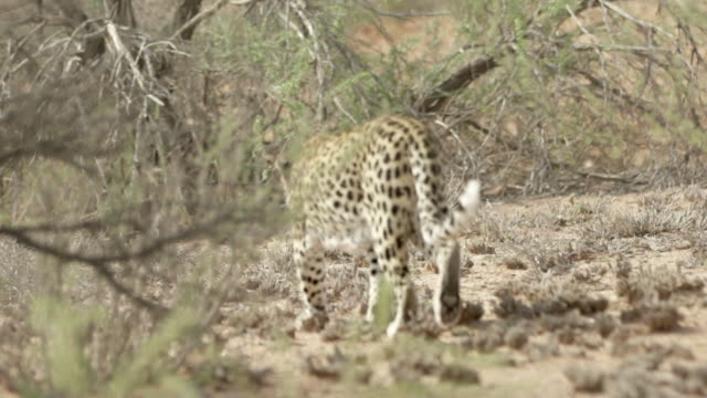 panning shot of leopard walking by plants at forest, full length of spotted wild cat - etosha national park, namibia - wildlife reserve stock videos & royalty-free footage