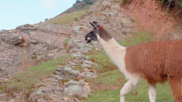panning shot of llama walking on rocky mountain against sky, mammal on hill - cusco, peru - växtätare bildbanksvideor och videomaterial från bakom kulisserna
