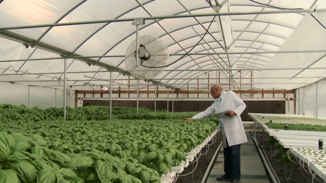 Panning shot of Mixed Race scientist checking basil in greenhouse