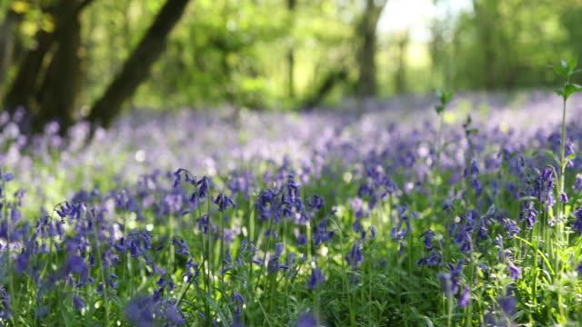 panning shot of path through bluebells in spring woodland - pedestrian walkway stock videos & royalty-free footage
