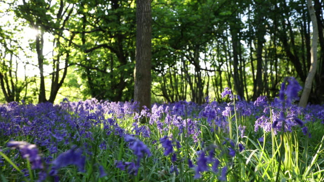 panning shot of path through bluebells in spring woodland - springtime stock videos & royalty-free footage