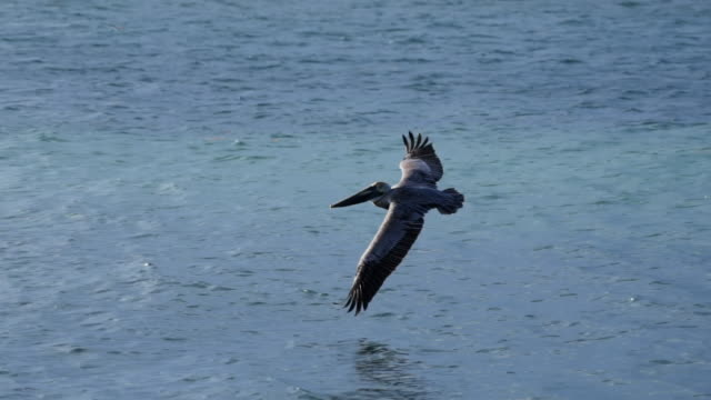 panning shot of pelican flying over sea, bird with spread wings over water - belize city, belize - spread wings stock videos & royalty-free footage