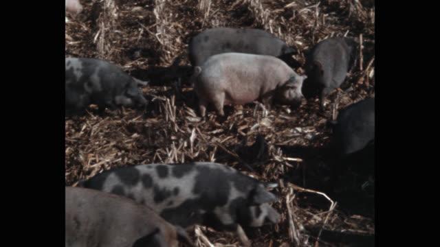 vídeos de stock e filmes b-roll de panning shot of pigs grazing in agricultural field - porco