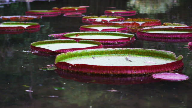 vídeos y material grabado en eventos de stock de panning shot of pink and green waterlilies in botanical gardens. - 2013