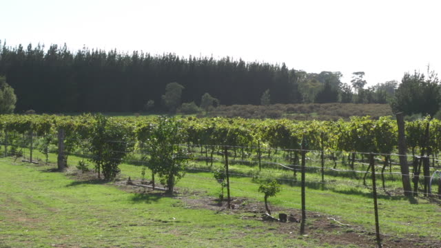 panning shot of vineyard in afternoon sun - open field stock videos & royalty-free footage