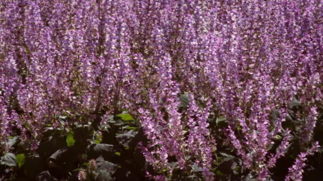panning shot of violet lupine field. - プロボ点の映像素材/bロール