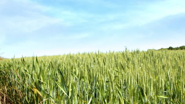 畑で育つ小麦のパンニングショット。 - 穀物 ライムギ点の映像素材/bロール