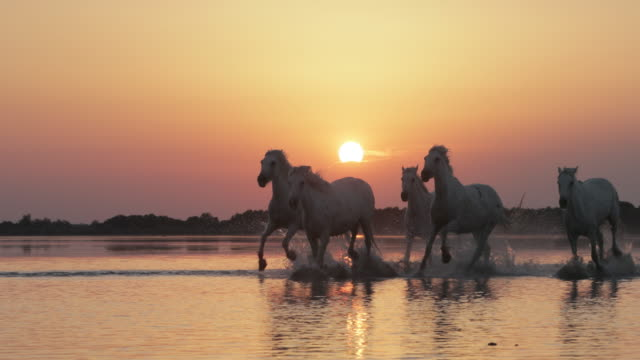 panning shot of white horses running while splashing in sea against orange sky during sunset - camargue, france - horse family stock videos & royalty-free footage