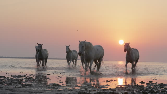 panning shot of white horses wading on riverbank against orange sky at sunset - camargue, france - cavalry stock videos & royalty-free footage