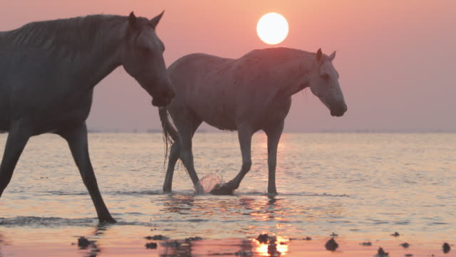 panning shot of white horses wading on riverbank against sky at sunset - camargue, france - cavalry stock videos & royalty-free footage
