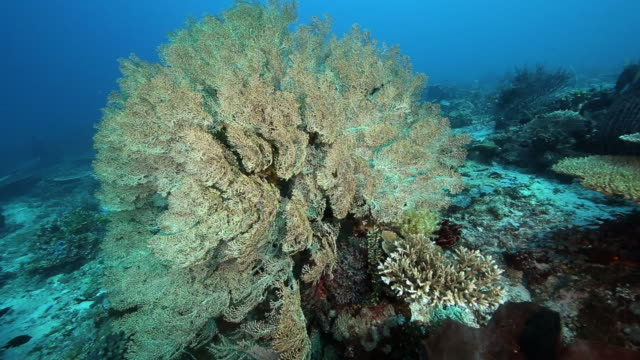 stockvideo's en b-roll-footage met a panning shot of yellow gorgonian sea fan, flores indonesia - flores indonesië
